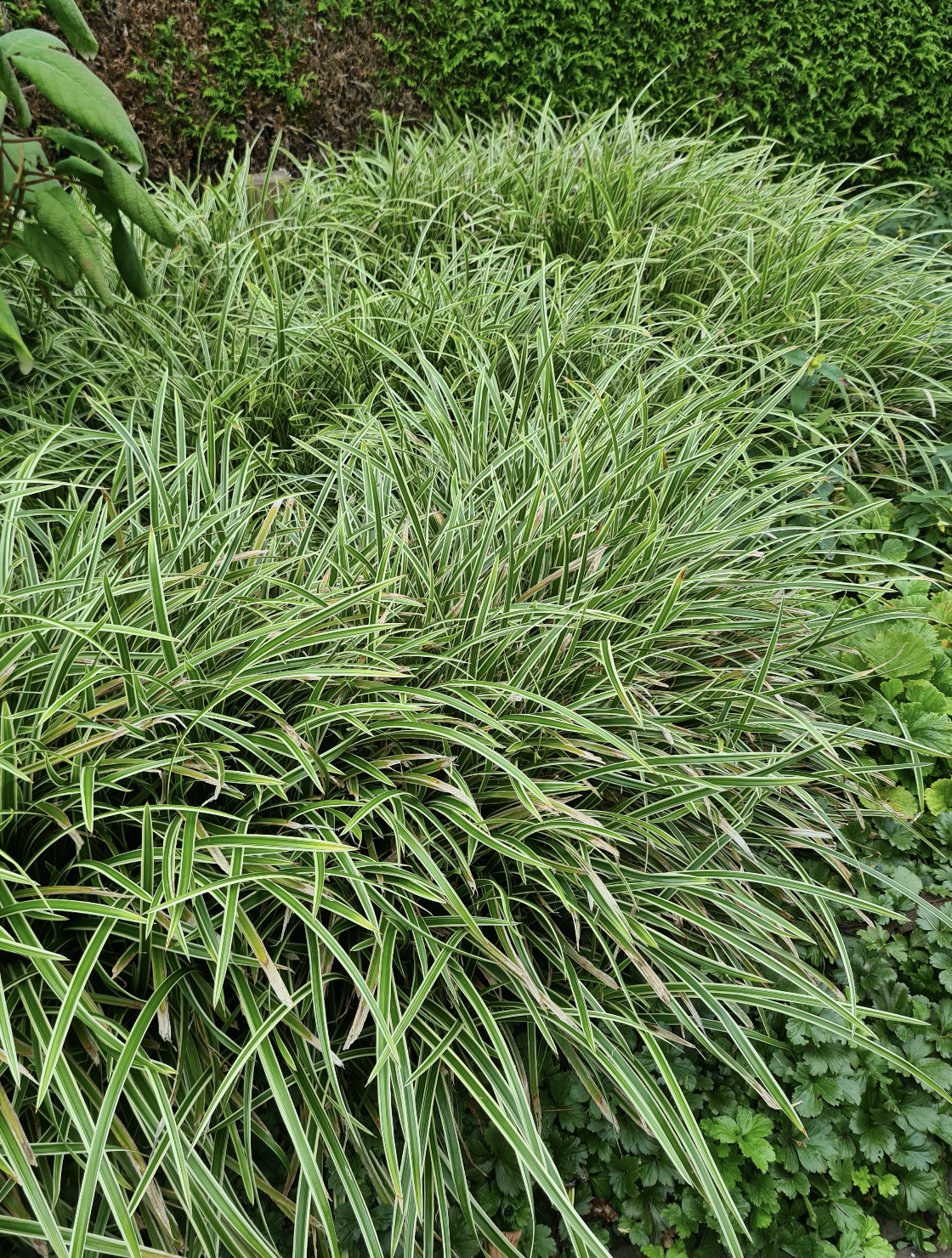 Zegge - Carex morrowii 'Variegata'