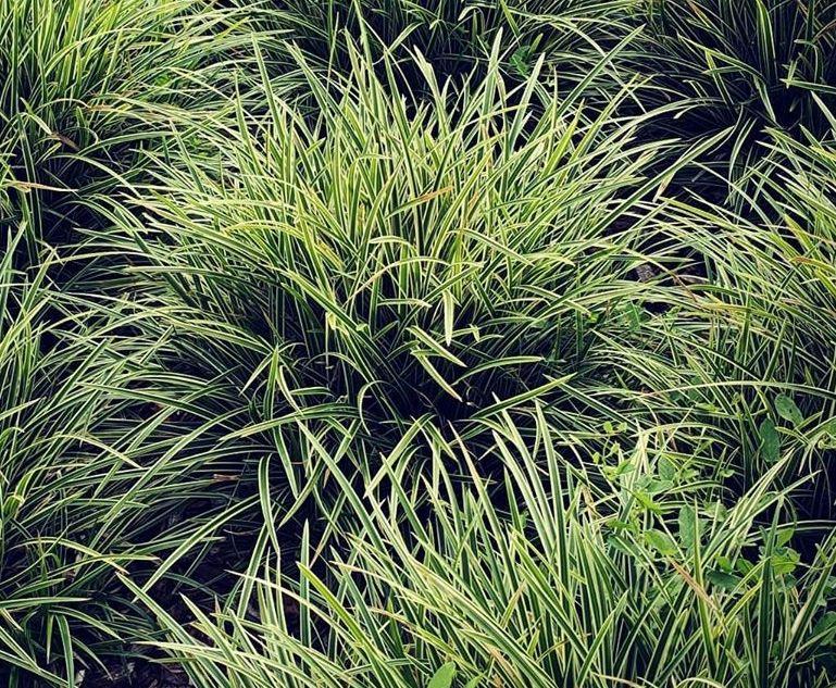 Tuinplanten carex
