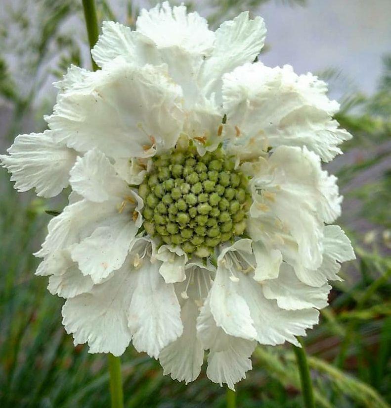 Vaste plant langbloeiend wit