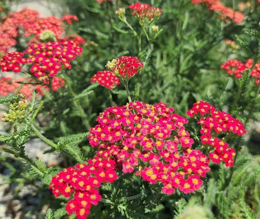 Roodbloeiende vaste planten tuin bijen en vlinders