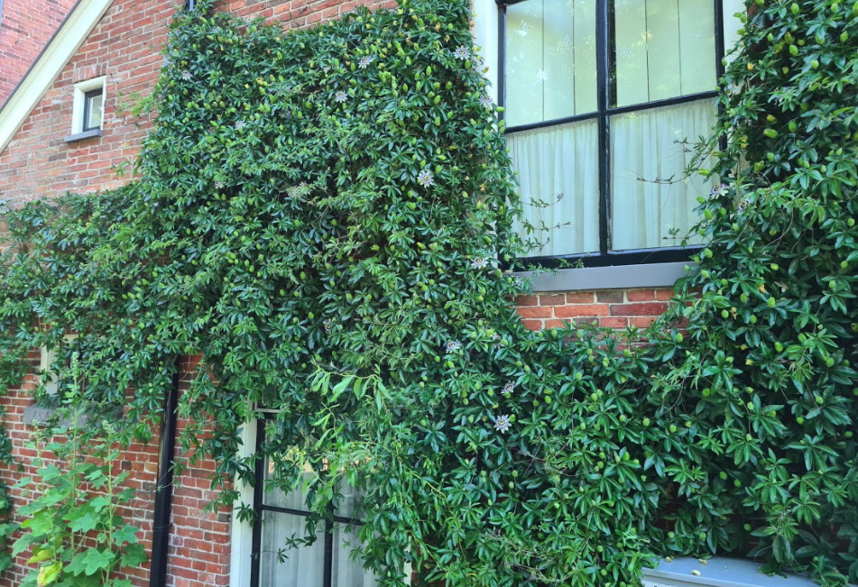 klimplant passiflora tegen muur