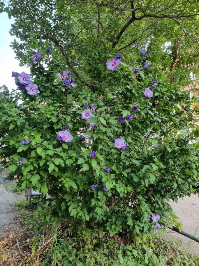 Heemstroos - Hibiscus syriacus 'Oiseau Bleu'