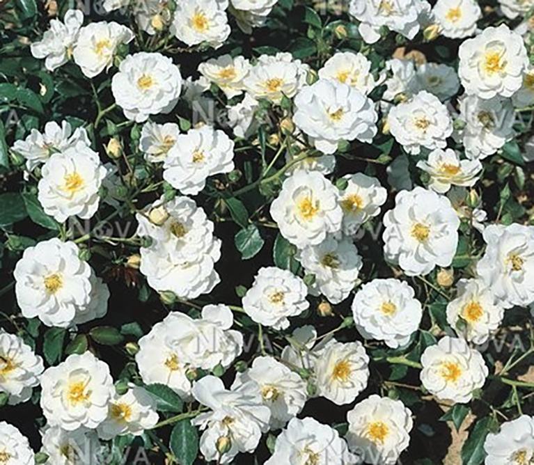 Heesterroos - Rosa 'Schneekönigin'