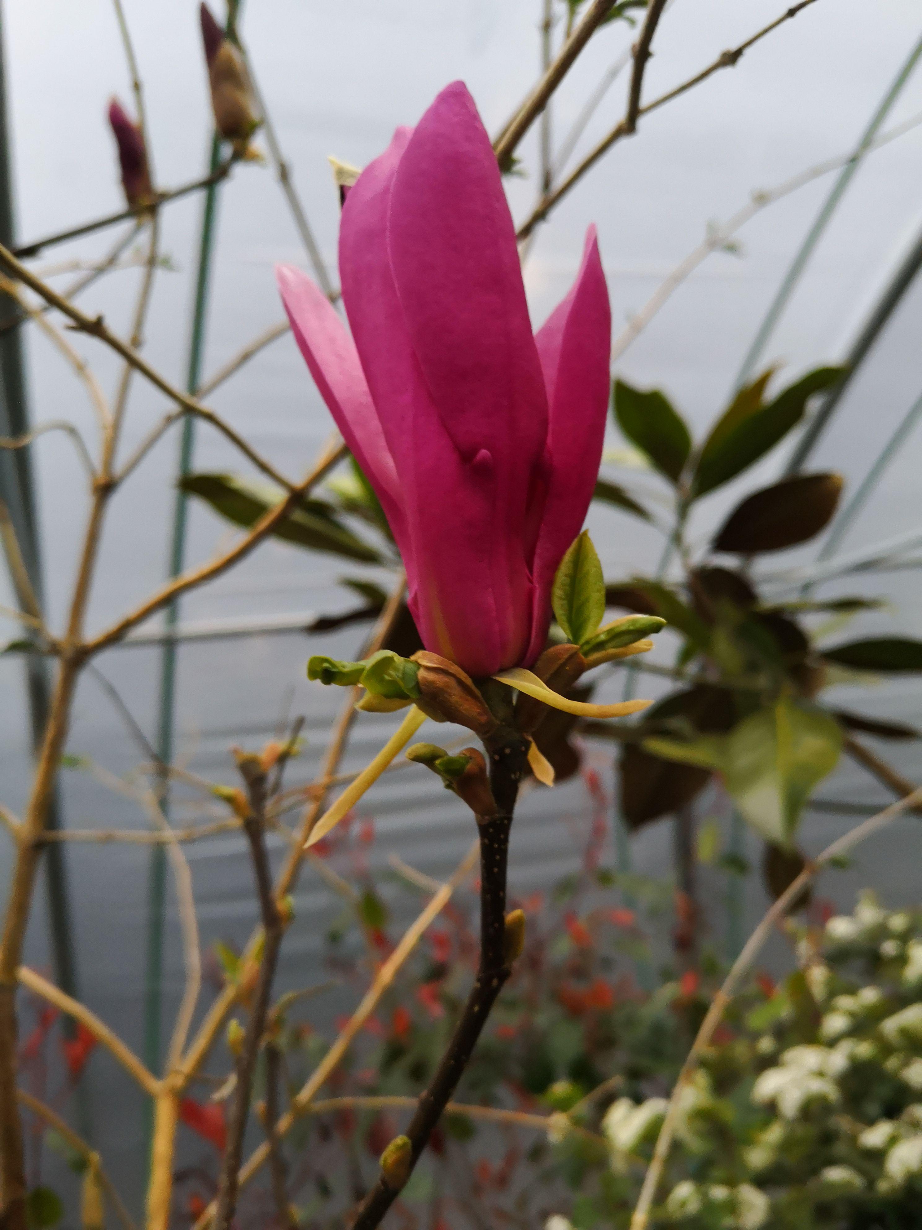 Foto magnolia 1
