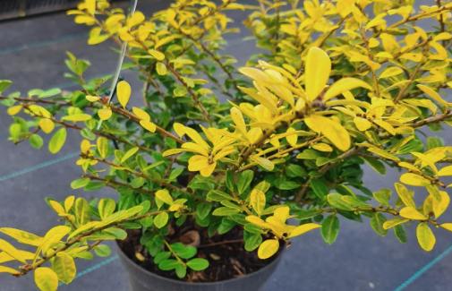 bodembedekker struik gele bladeren