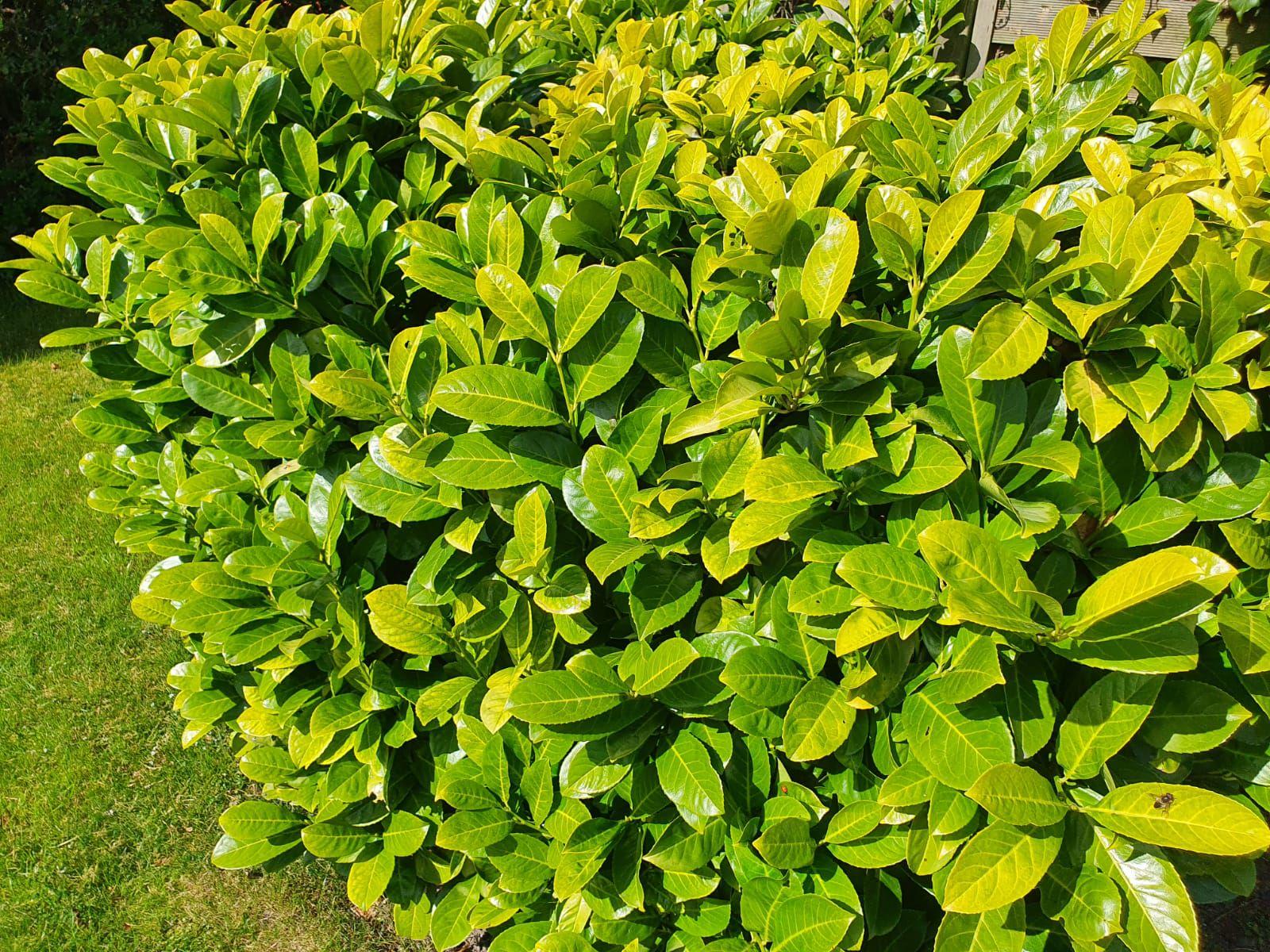 Laurierkers - Prunus laurocerasus