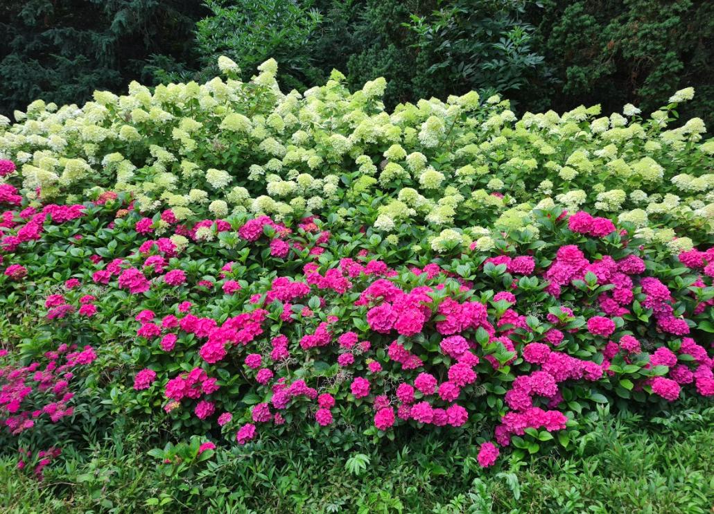 Hortensia limelight in combinatie met andere hortensia