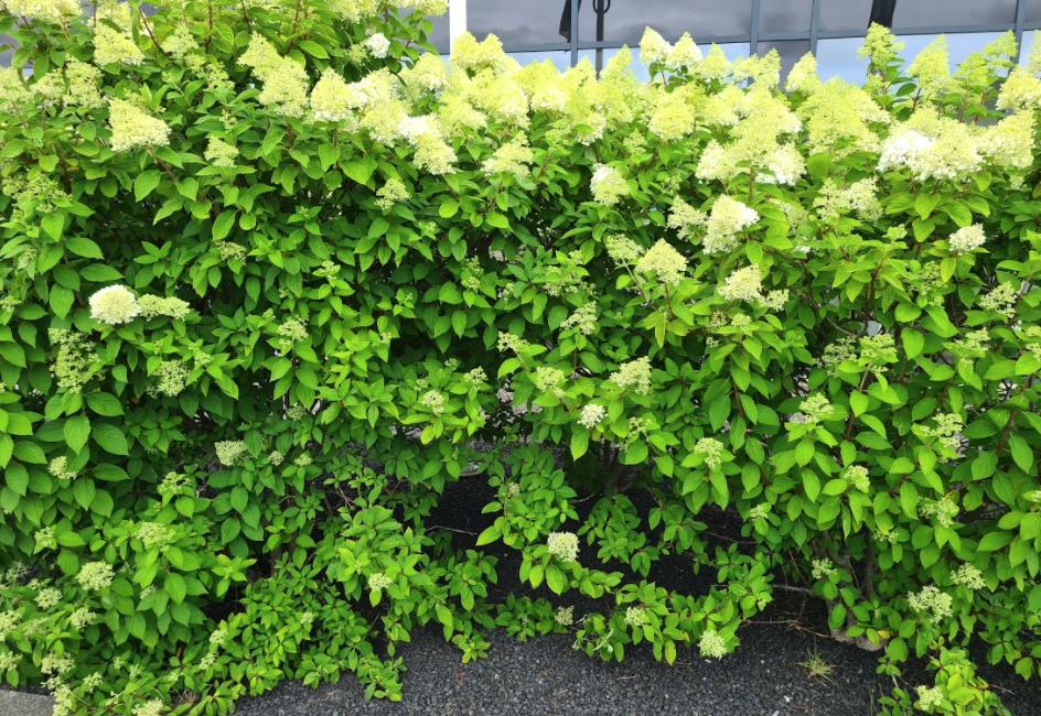 Hortensia limelight tuinplant struiken