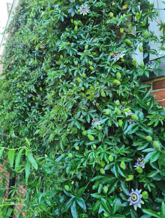 Passiebloem klimplant muurtje volwassen