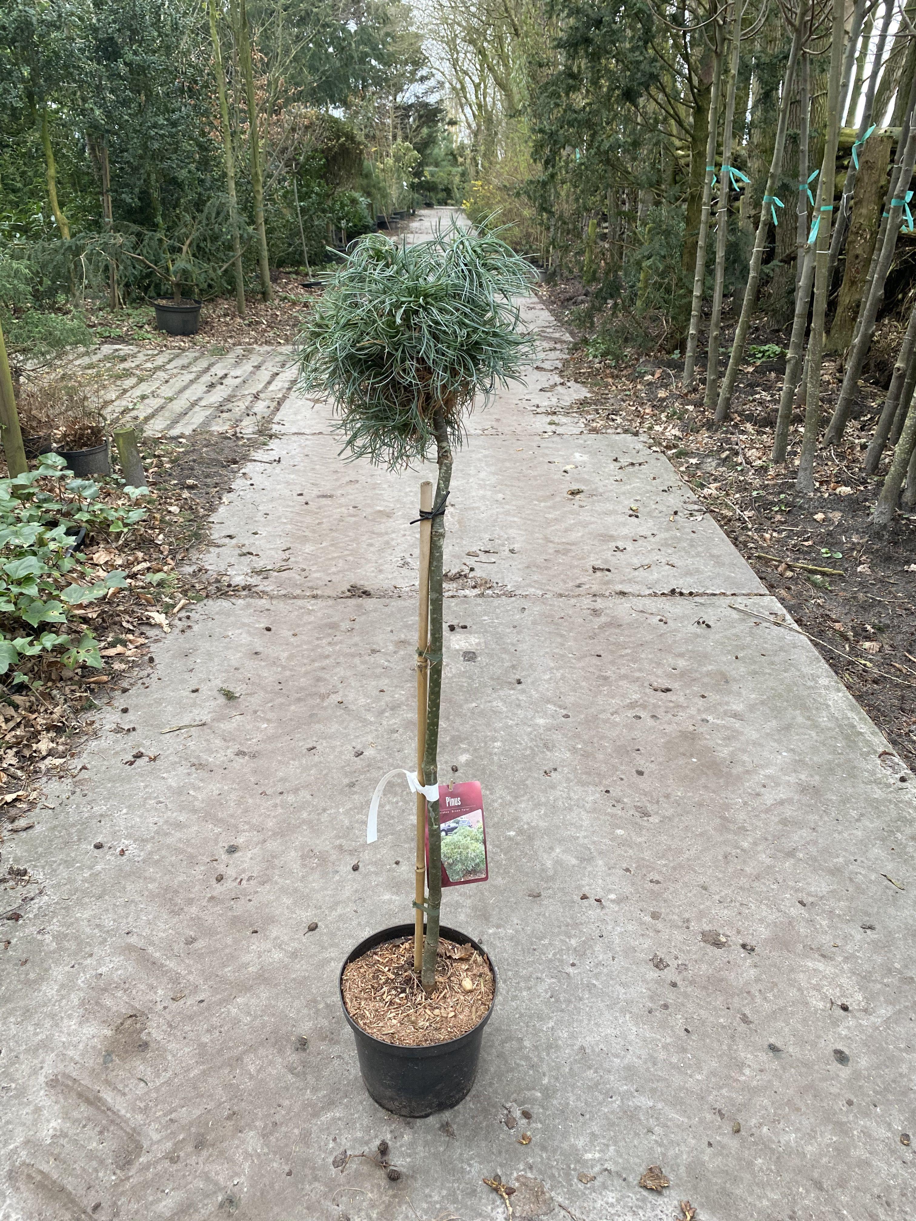 Pinus op stam