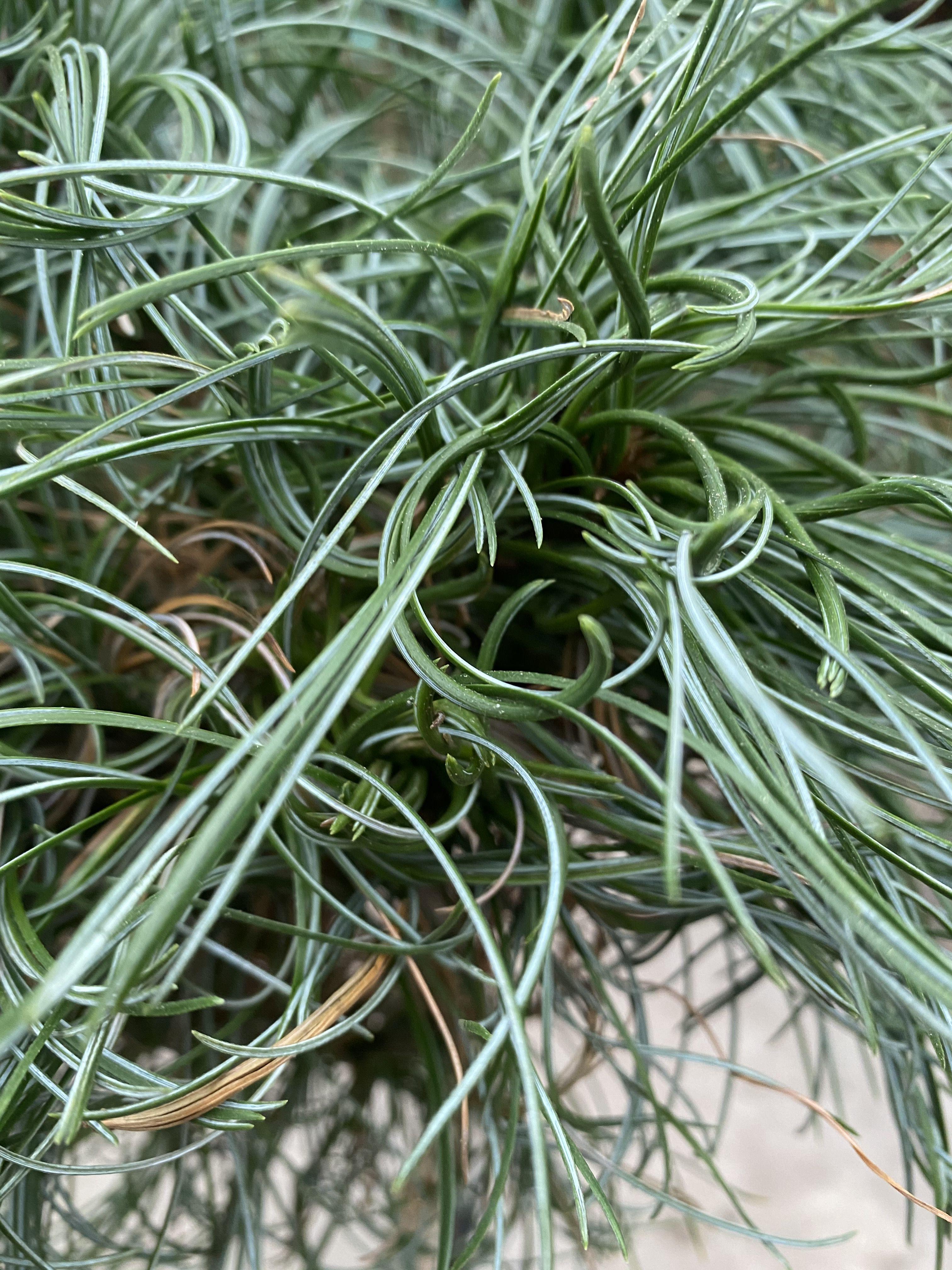 pinus op stam blad