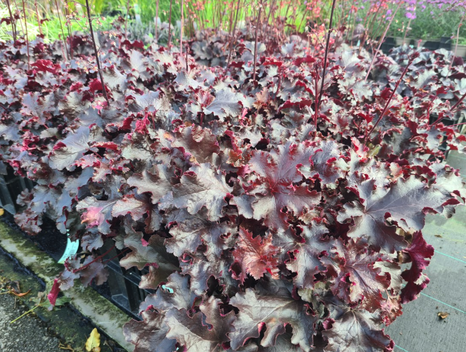 Purperklokje - Heuchera micrantha 'Palace Purple'