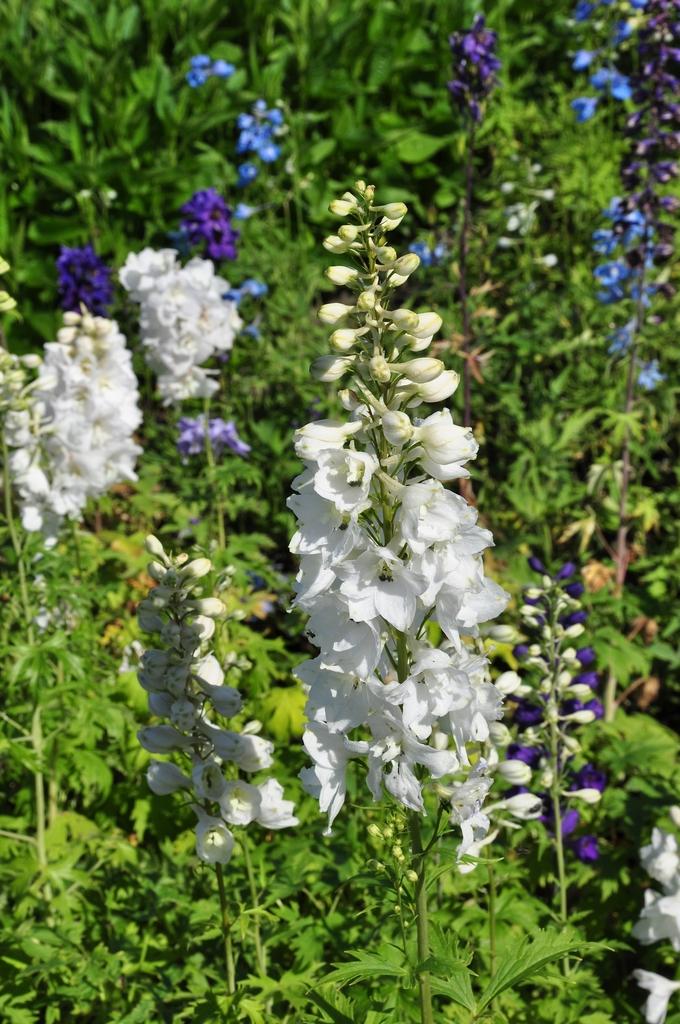 Ridderspoor in uw tuin