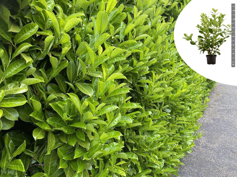 Rotundifolia tuinplanten hagen aanplanten yarinde