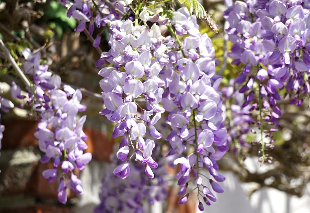 prachtige bloemen blauweregen pergola klimplanten