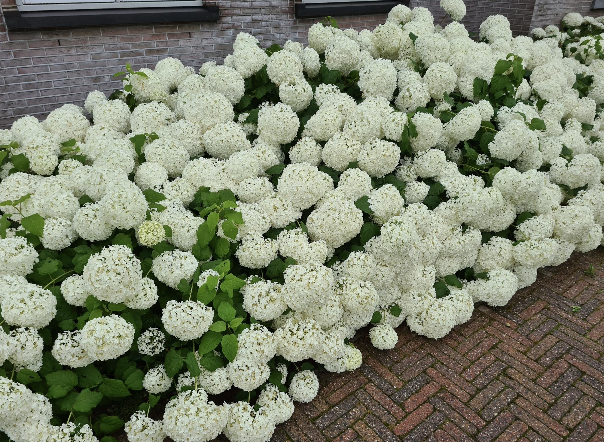 Hortensia annabelle tuinplanten borderpakketten heesters witte bloeikleur