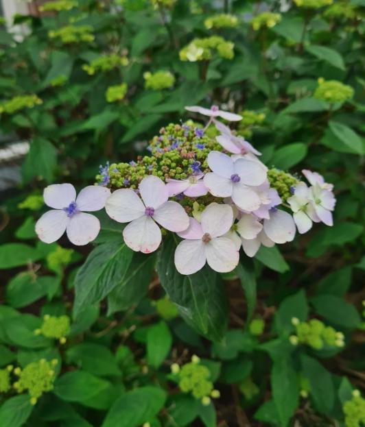 hortensia bloemen en bloei knoppen