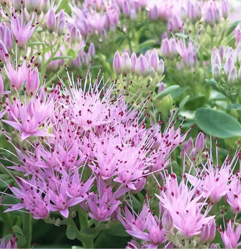 sedumtuinplanten bijen