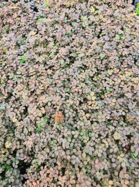 Stekelnootje - Acaena microphylla