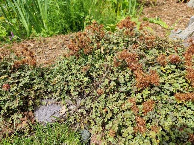 Stekelnootje bodembedekker tuinplanten informatie