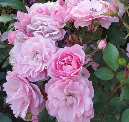Trosroos - Rosa 'Bonica' bloemen