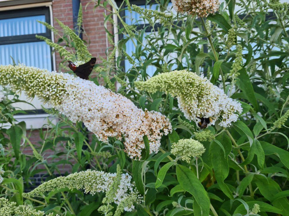 Vlinderstruik - Buddleja davidii 'White Profusion'