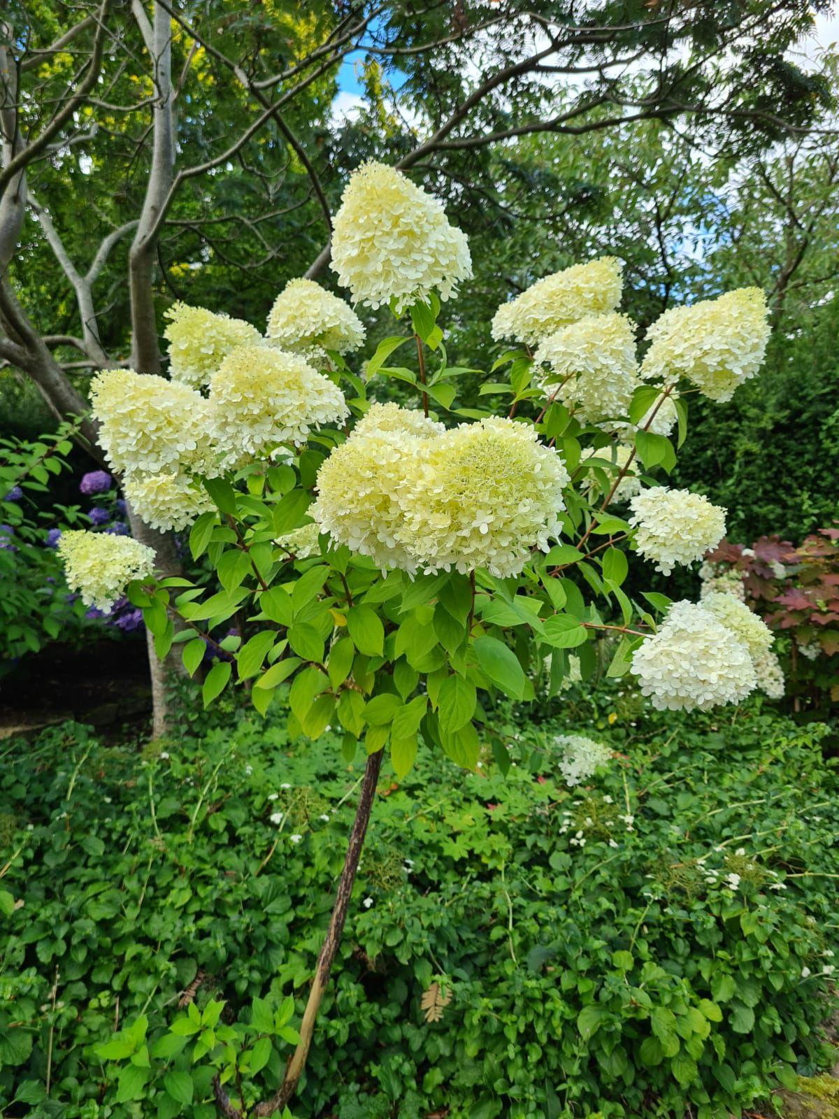 Hortensia limelight heesters