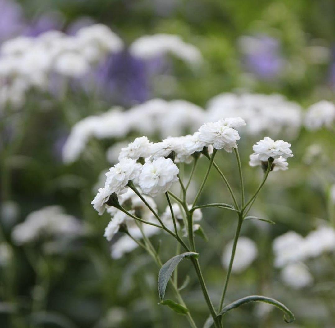 Tuinplanten witte borderpakketten
