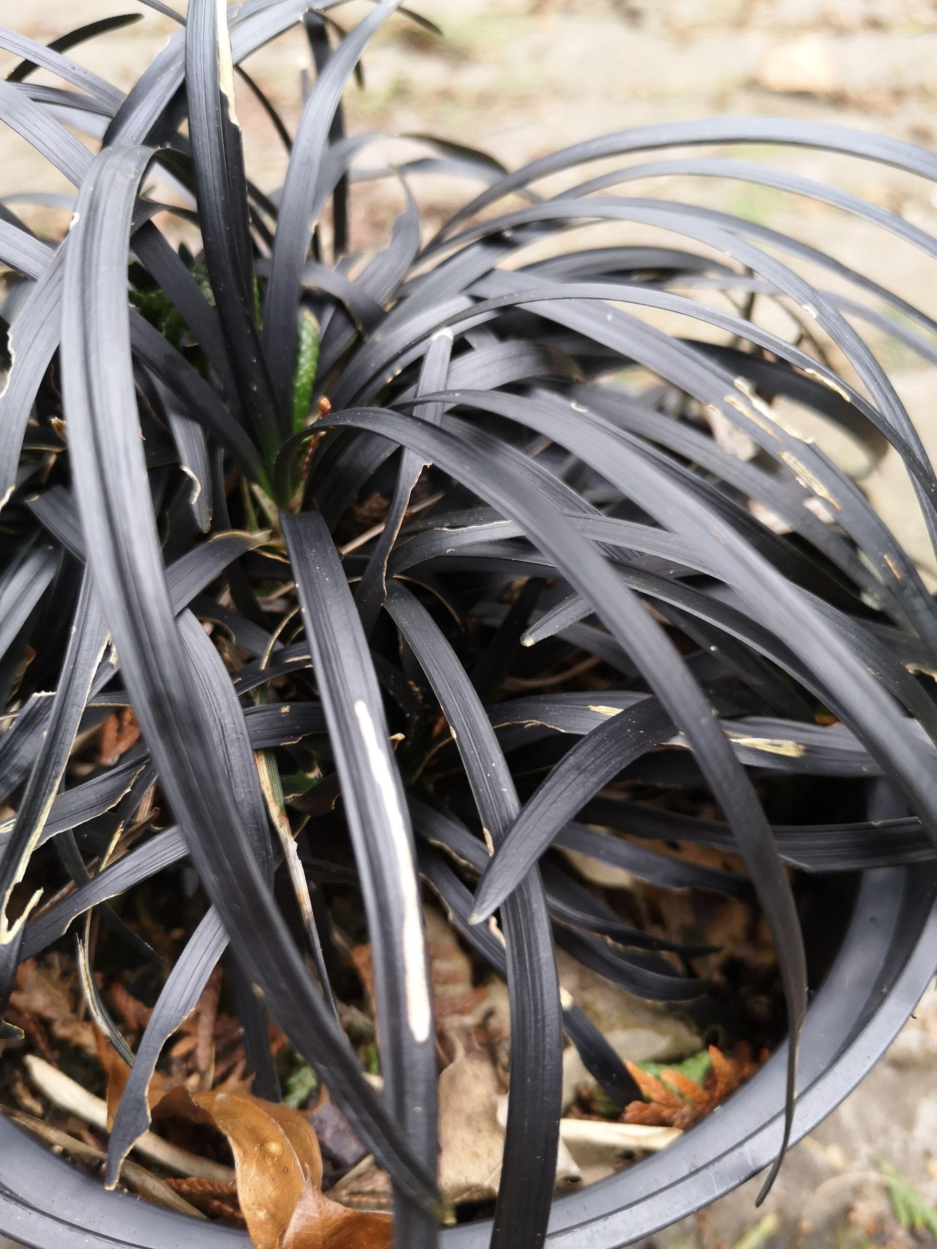 Zwart gras siergras foto 2