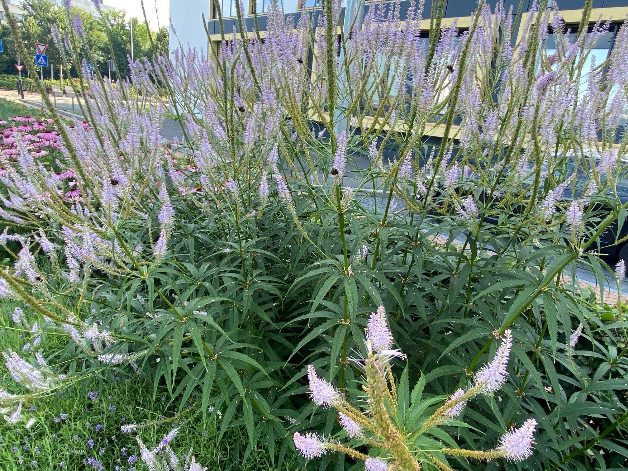 Zwarte ereprijs - Veronicastrum virginicum 'Lavendelturm'