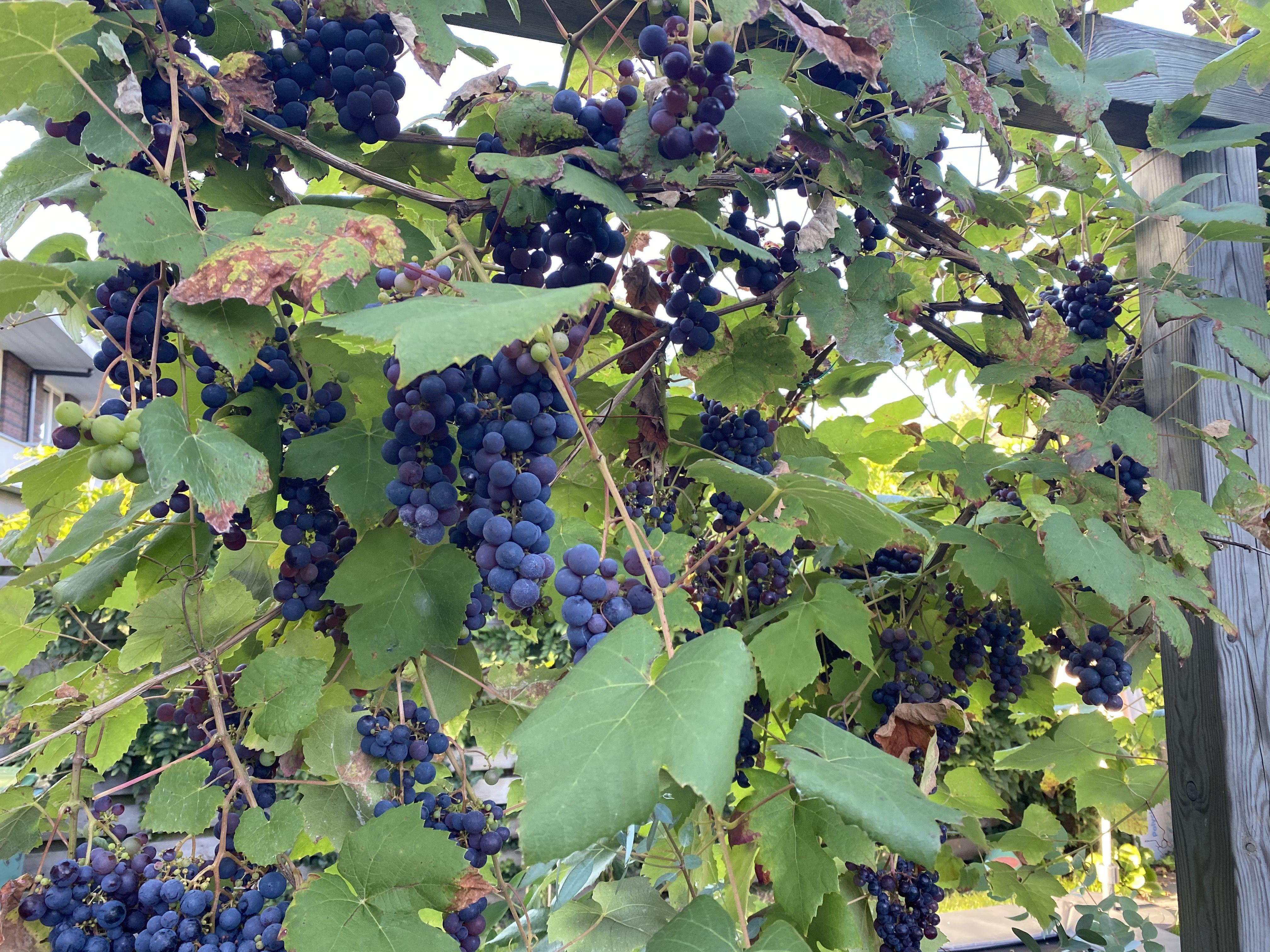 blauwe druif klimplanten pergola
