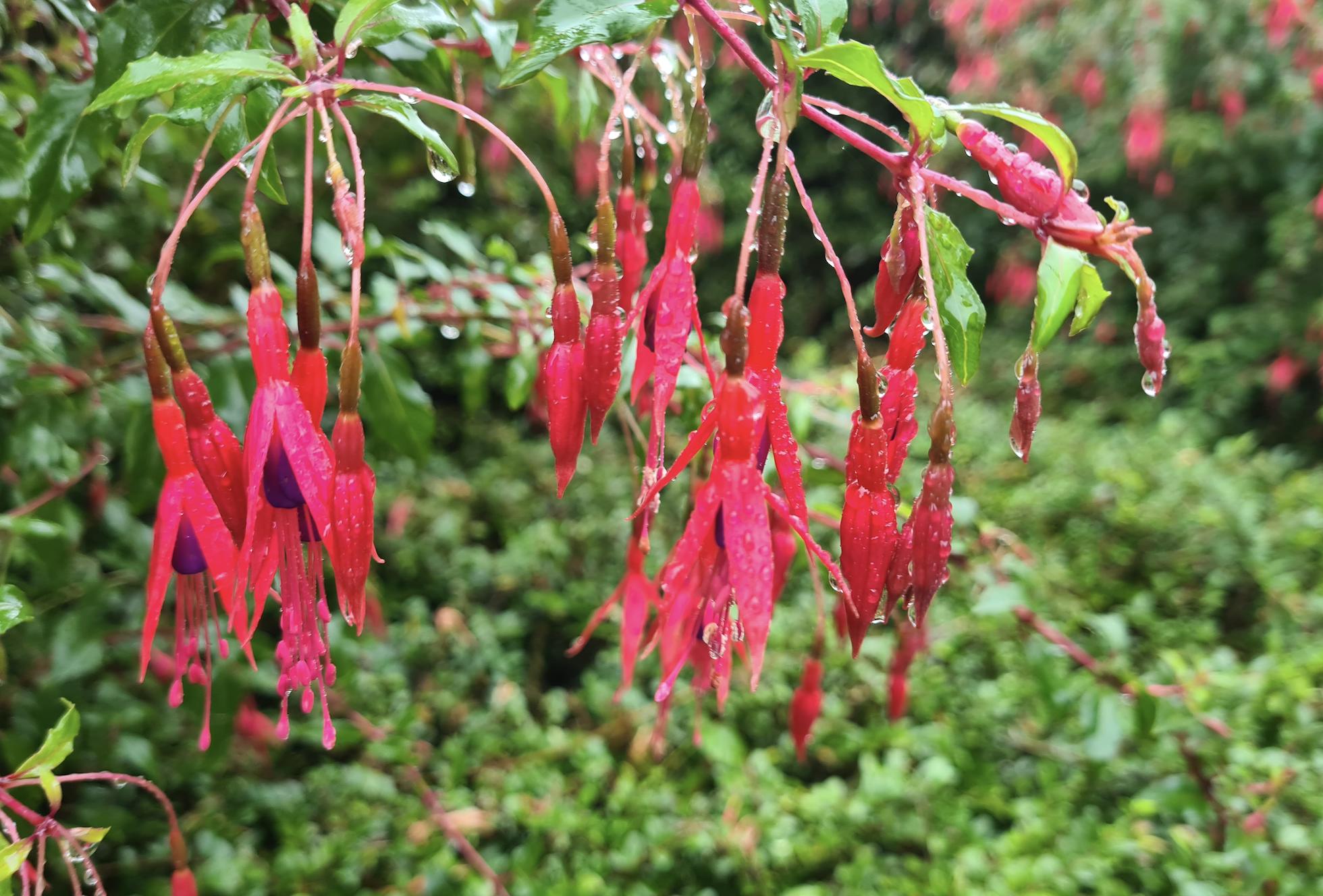 Bellenplant fuchsia bloeiwijze bloeikleur rood
