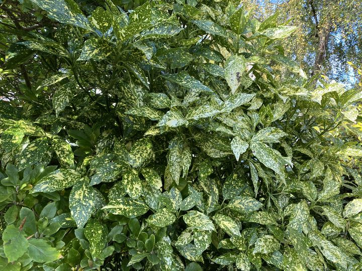 Broodboom - Aucuba japonica