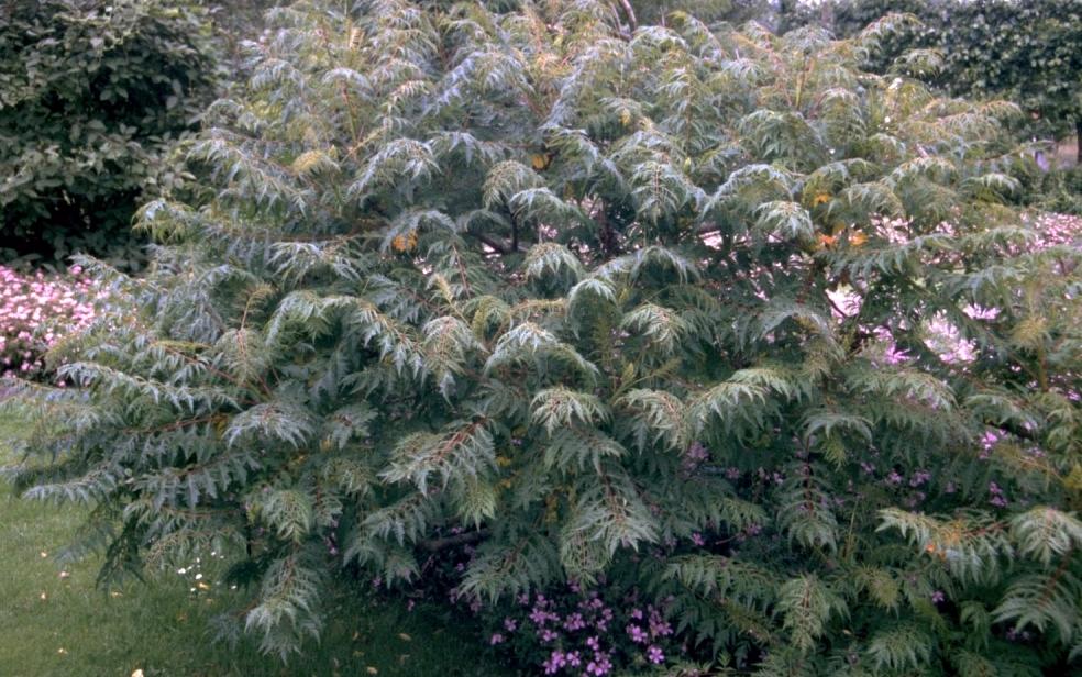 Azijnboom - Rhus typhina 'Dissecta'