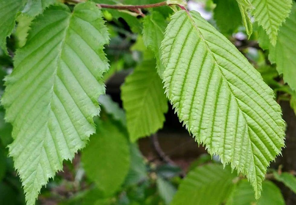 blad van haagbeuk leivorm boom