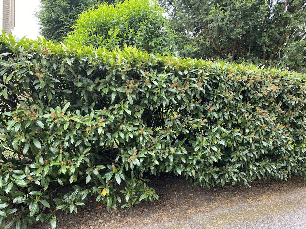 herbergii haagplant laurier