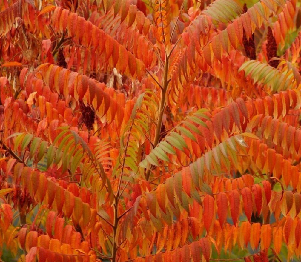 Azijnboom - Rhus typhina 'Dissecta' - Herfst