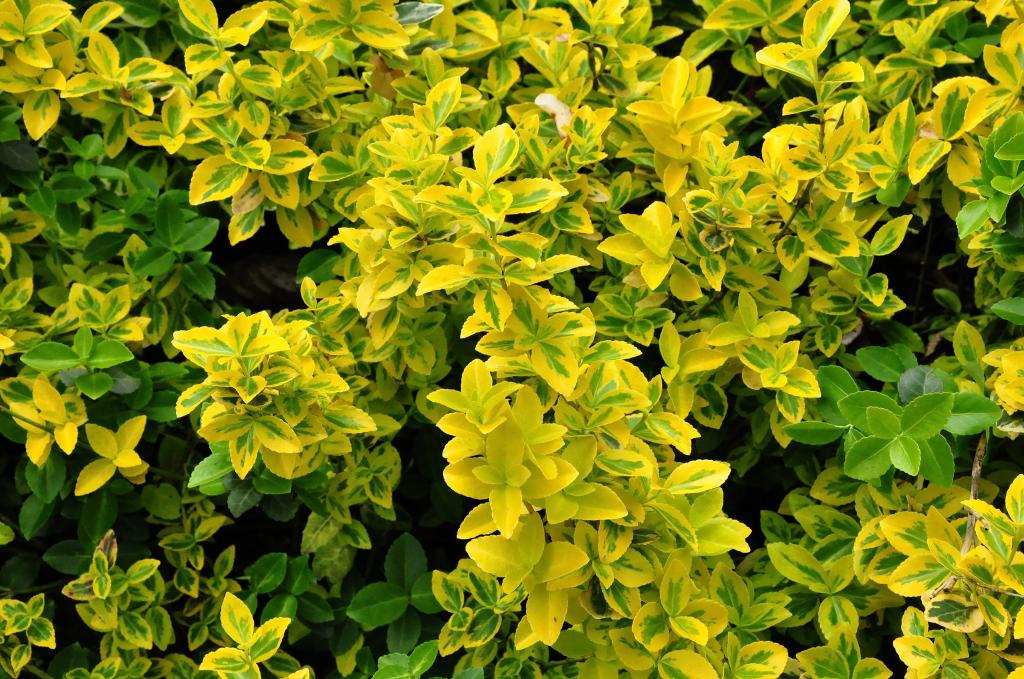 Japanse kardinaalsmuts - Euonymus fortunei