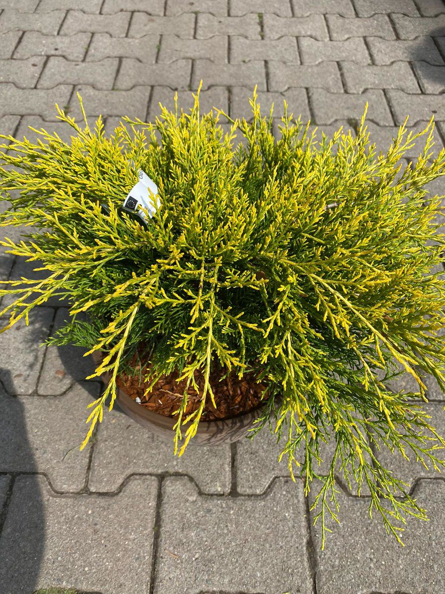 Jeneverbes - Juniperus