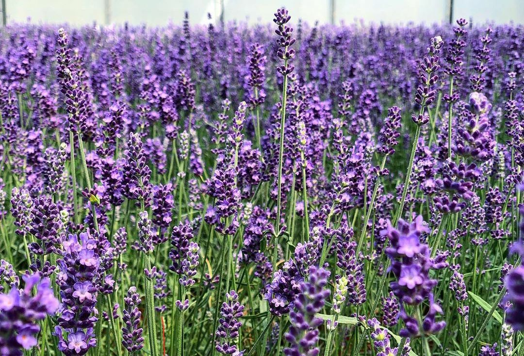 Gewone lavendel - Lavandula angustifolia 'Hidcote'
