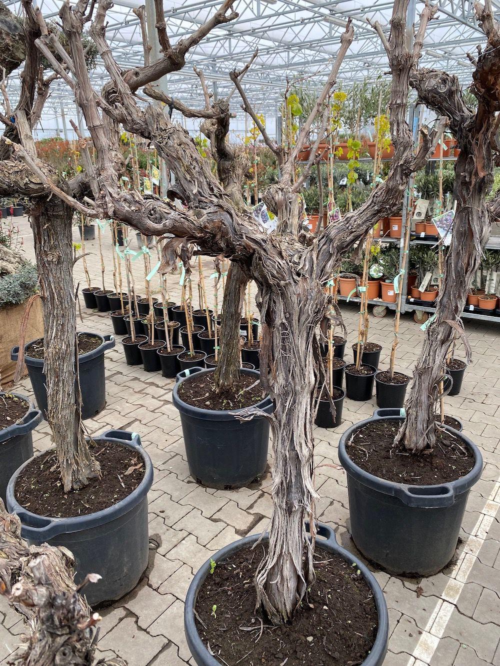oude druif plant
