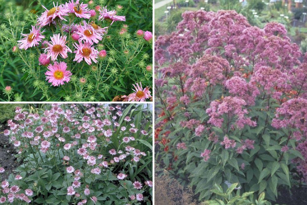 Roze bloeiende vaste planten kleigrond tuinklei