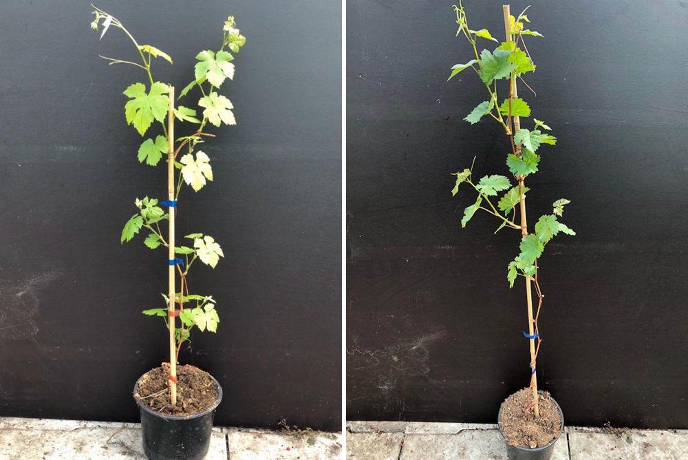 Vitis klimplanten pergola set borderpakket