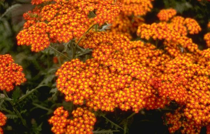 Duizendblad oranje kleuren schermen vorm borderpakket