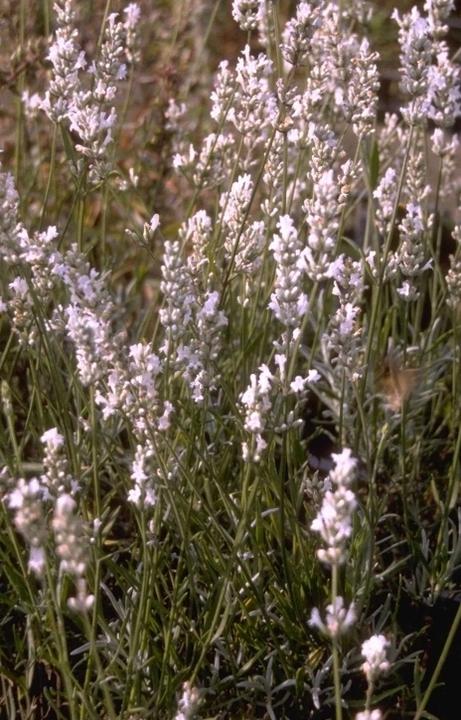 Witte lavendel soort