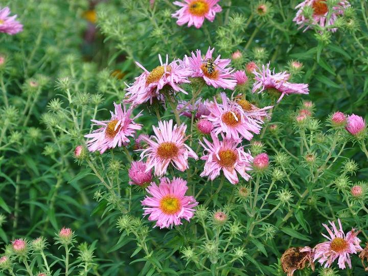 Roze bloeiende vaste planten kleigrond