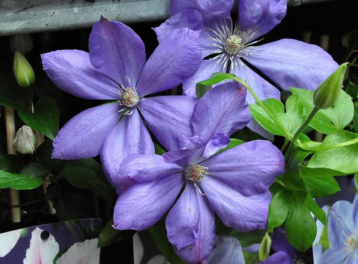 Blauwe bloemen clematis