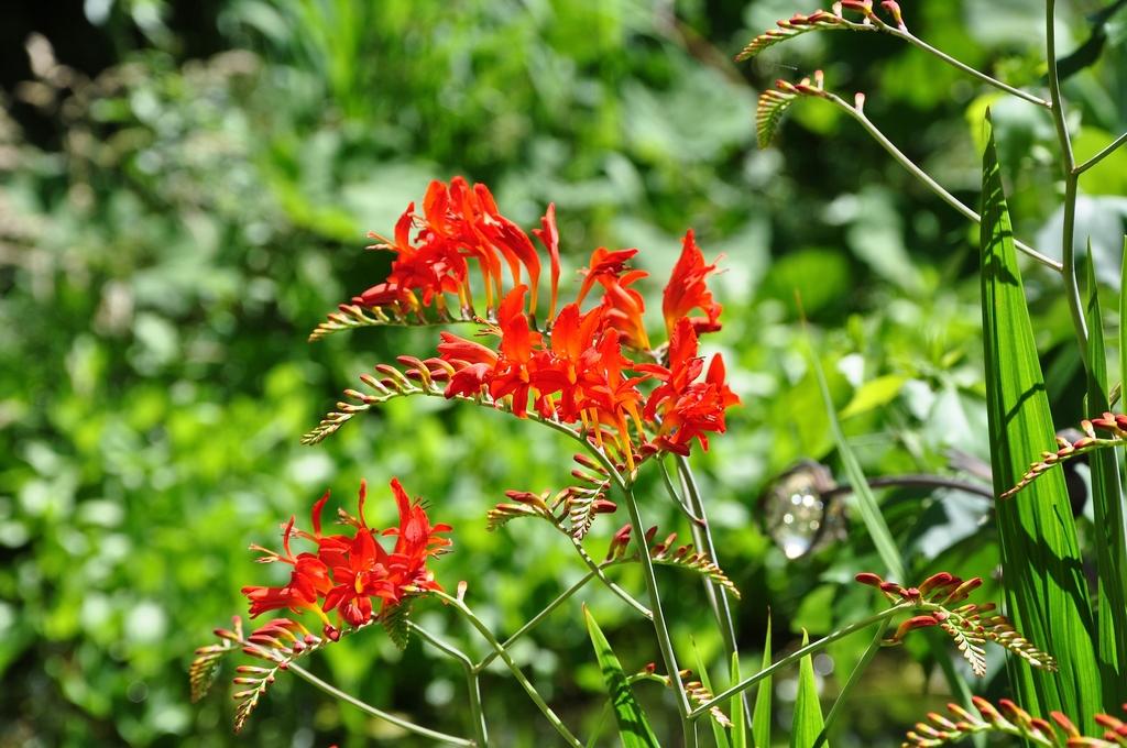 Rode bloeiwijze
