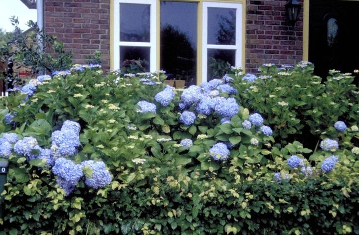 Hortensia bloemen blauw