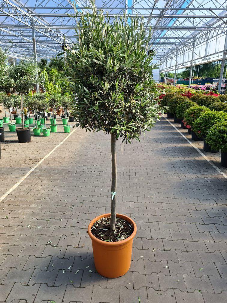 klant foto olijfboom